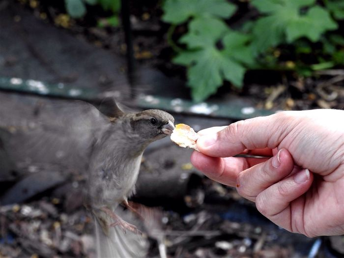Close-up of person hand feeding sparrow against blurred background