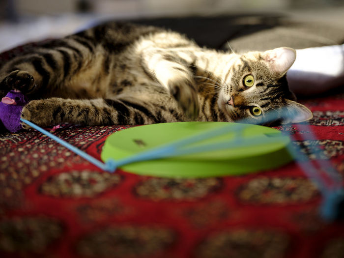 Cat Domestic Domestic Animals Domestic Cat Feline Indoors  Looking At Camera Lying Down Mammal No People One Animal Pets Portrait Relaxation Resting Selective Focus Tabby Vertebrate Whisker
