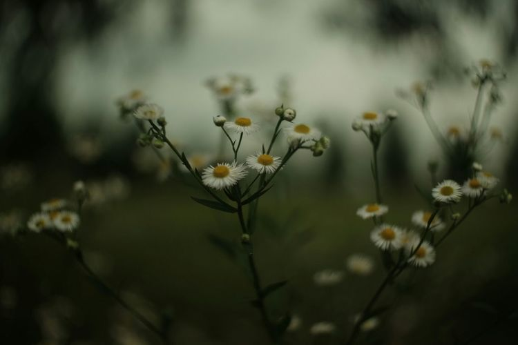 Close-up of daises blooming on field at dusk