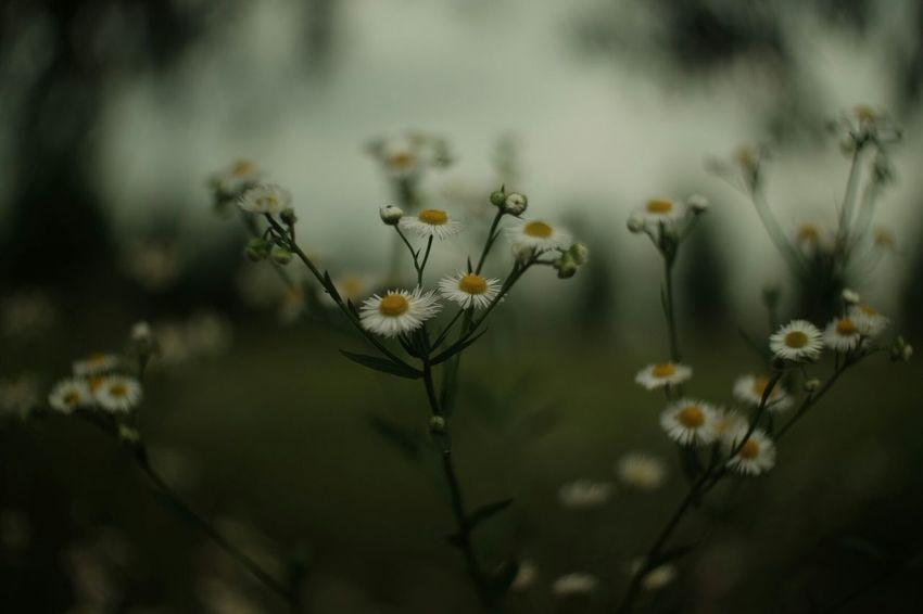 Strength Nature_collection Fuji X-T1 Carl Zeiss Jena FUJIFILM X-T1 Pancolar 50mm F2 EyeEm Nature Lover Plants 🌱 Flowers Flower 春紫菀