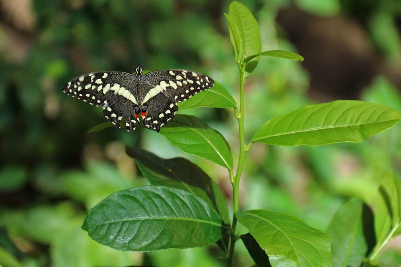 Butterfly 8 Plant Part Leaf Animals In The Wild Animal Wildlife Animal Themes Animal One Animal Growth Day Nature No People Focus On Foreground Insect Invertebrate Plant Green Color Close-up Beauty In Nature Butterfly - Insect Outdoors EyeEmNewHere