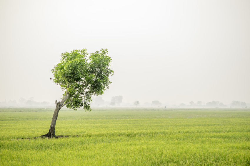lone tree in rice field Chachoengsao Green Rice Plant Sky Open Country Lone Tree Rice Fields. Chacheongsao Chacheonsao Thailand Green Rice Green Rice Field Green Rice Shoots Lone Tree In Rice Field Organic Rice Rice Field Rice Fields  Rice Fields And Water