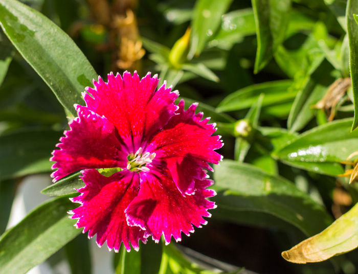 Some blooming Turkish red carnations on the background of green leaves Allspice Background Blooming Blossom Blushful Blushing Carnations Clove Damask Floride Flower Flowering Fluorishing Green Gules Incarnadine Leaves Pink Purple Red Ruddy Scarlet Some  Turkish Vermilion