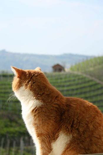 Ginger cat outdoor Tranquility Serenity Spring Springtime Spring Has Arrived Piedmont Italy Tranquility Admiring The View Animal Themes Barbaresco Vineyards Cat Outdoors Cat Portrait Close-up Day Domestic Animals Domestic Cat Feline Field Focus On Foreground Ginger Cat Mammal Nature No People One Animal Outdoors Pets Serene Outdoors Sitting Sky