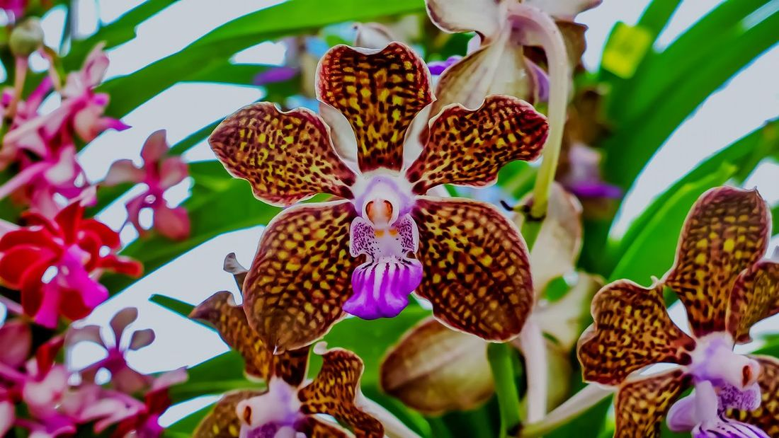 Orchid Beauty In Nature Flower Head Brown Yellow Red Lef Green Freshness Close-up Petal Plant Outdoors No People Hybrid