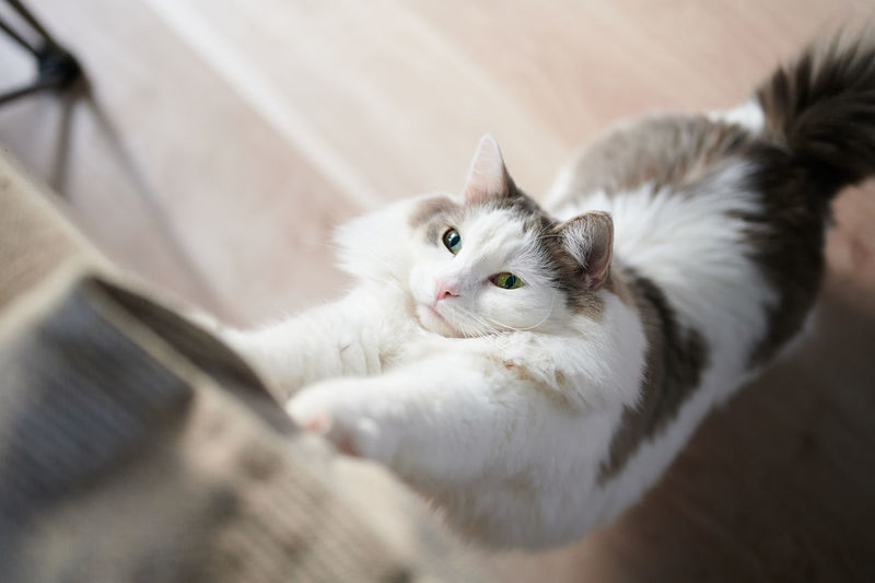 High angle view of cat stretching at home