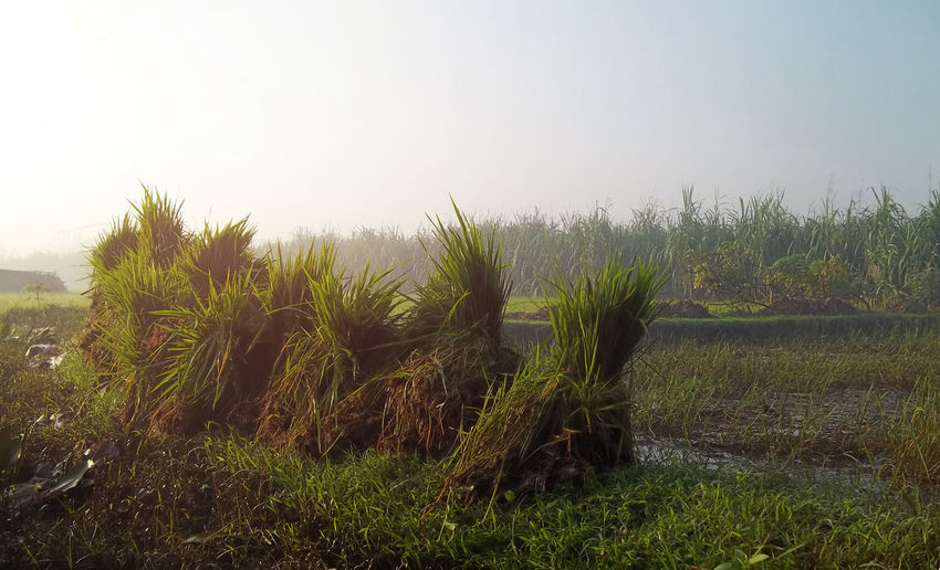 Java Ricefield Agriculture Bali Bali, Indonesia Beauty In Nature Clear Sky Day Field Grass Growth INDONESIA Java Landscape Nature No People Outdoors Plant Ricefield Ricefield View Scenics Sky Tranquil Scene Tranquility Tree