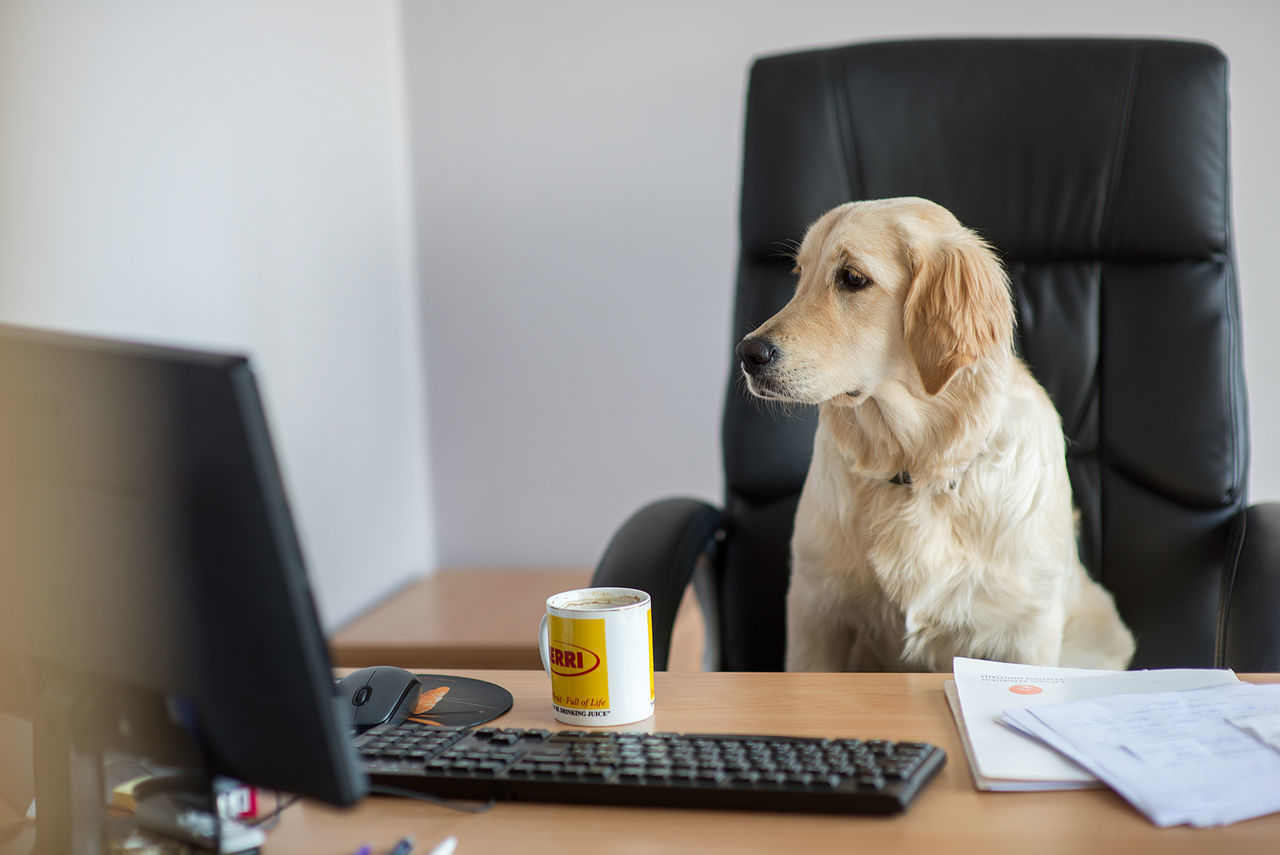 desk, one animal, pets, dog, sitting, indoors, domestic animals, technology, office, animal themes, laptop, chair, table, mammal, connection, computer, wireless technology, business, no people, working, eyeglasses, day, keyboard