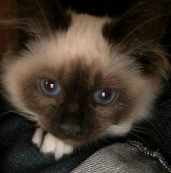 Liana , my little girl 😊 Cat Lovers Cat Sacredebirmanie Birman