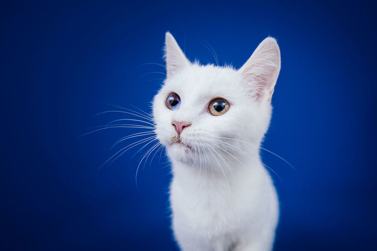 Close-up of cat against blue background