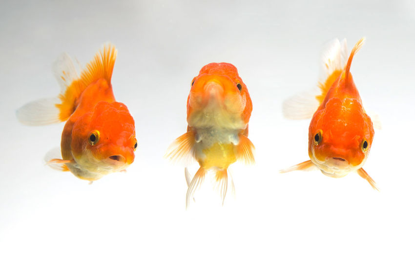 Close-up of goldfish swimming against white background