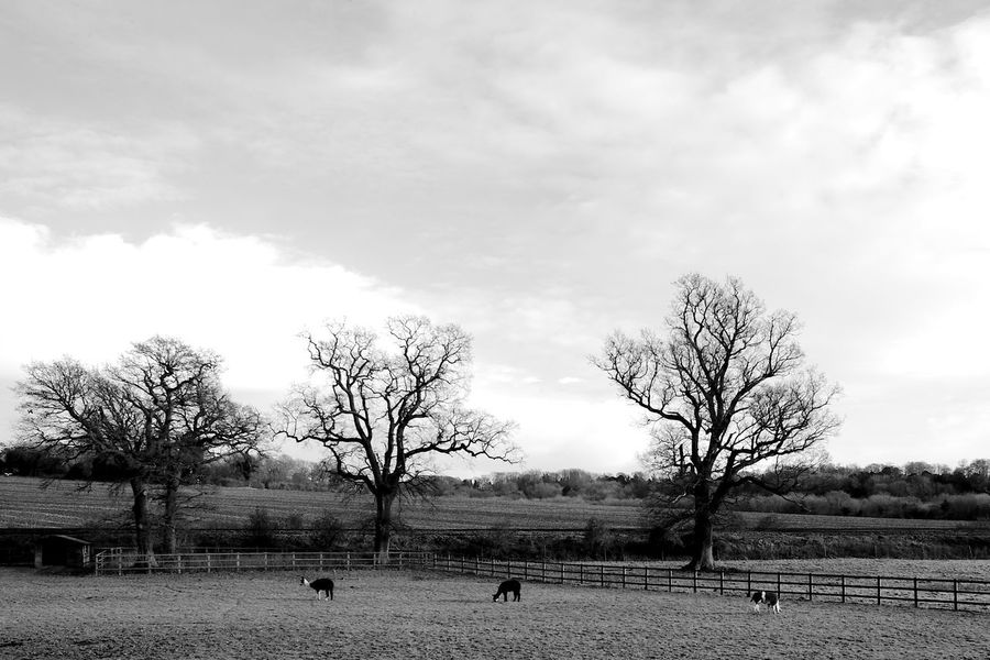Llamas In An English Field Bare Tree Black And White Blackandwhite Cloud - Sky Day Domestic Domestic Animals Environment Field Land Landscape Llama Llamas Nature Outdoors Plant Sky Tree