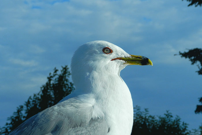 Cheez It Thief 2 Animal Body Part Animal Head  Avian Beak Beauty In Nature Bird Close-up Evil Eye Gull Mean Look Michigan Nature No People Outdoors Portrait Seagull Sky Thief Upper Pennisula Waterfowl