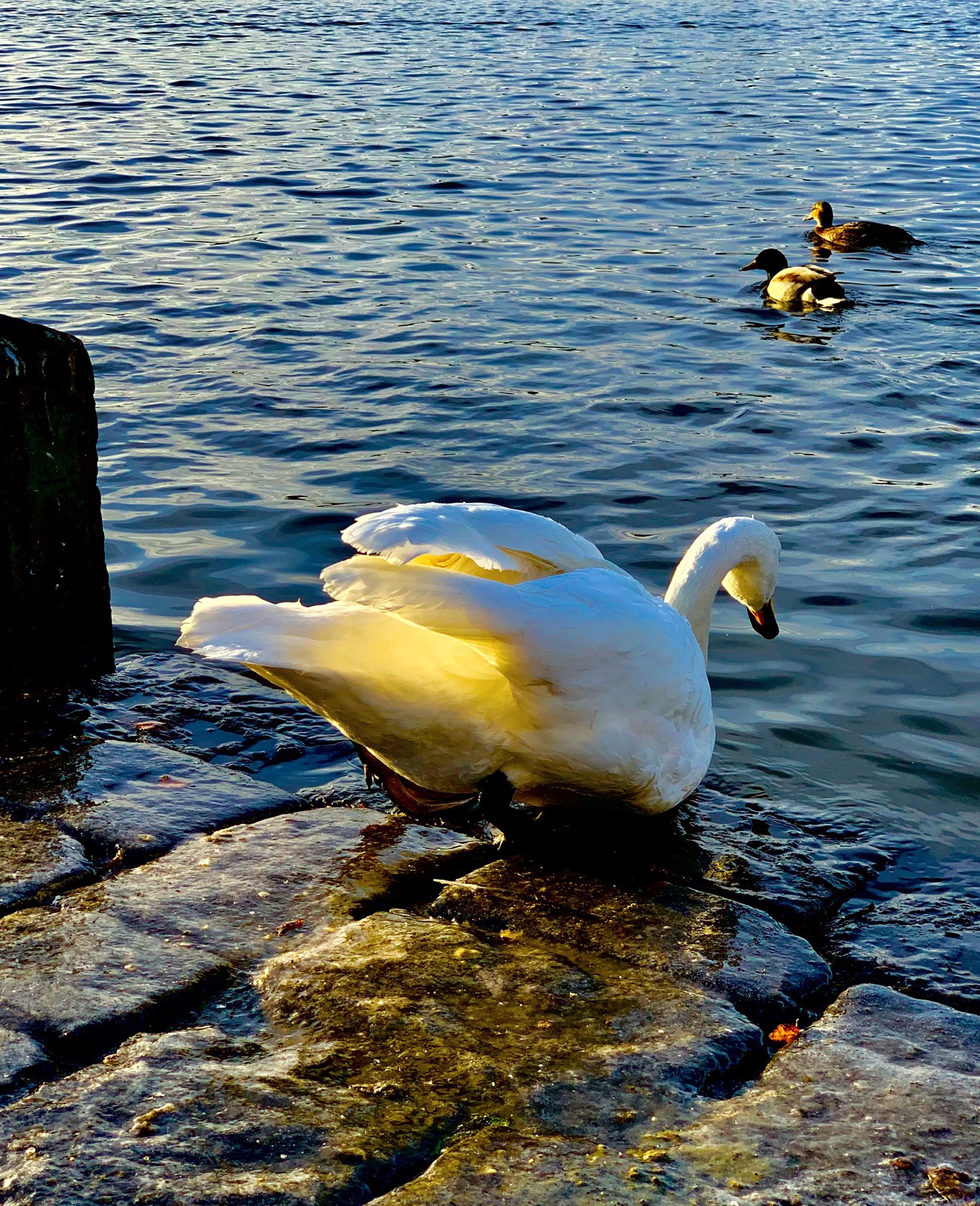 bird, water, animal themes, animal wildlife, animals in the wild, animal, vertebrate, lake, group of animals, swimming, duck, nature, no people, day, water bird, waterfront, poultry, beauty in nature, rock, outdoors, floating on water