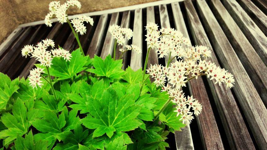 丹頂草 Flowers Parks Bonsai