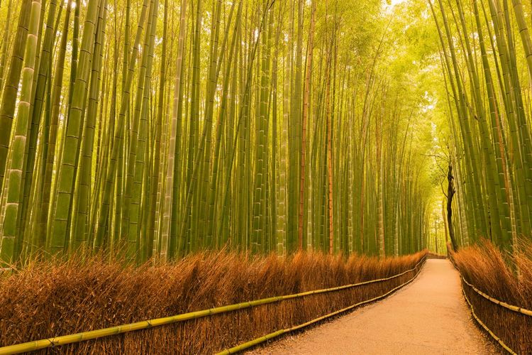 Arashiyama Bamboo Grove Bamboo Grove Kyoto Bamboo Forest Japan Path In The Forest Tree Nature Forest Outdoors Rural Scene Bamboo - Plant Growth Landscape Beauty In Nature No People Tranquility