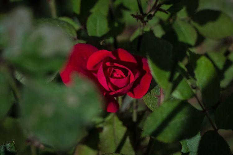 Nifty Fifty Showcase May 50mm The Week On Eyem EyeEm Best Shots Flowers Flower Rose🌹 Roses Rosé Garden Garden Photography