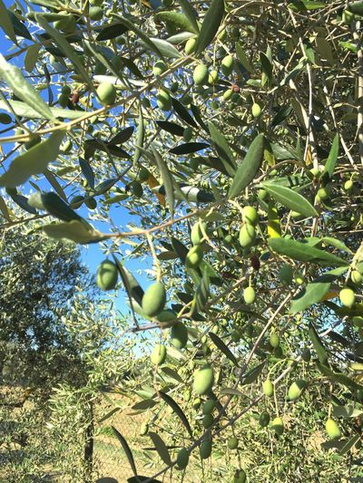 Tree Freshness Green Color Nature No People Outdoors Olive Tree Italy Missing Summer Silence Of Nature