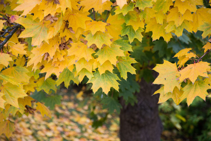 Autumn Autumn Autumn Colors Beauty In Nature Change Close-up Czech Republic Day Fragility Grebovka Growth Havlickovy Sady Leaf Leaves Maple Maple Leaf Nature No People Outdoors Park Prague Tree Yellow