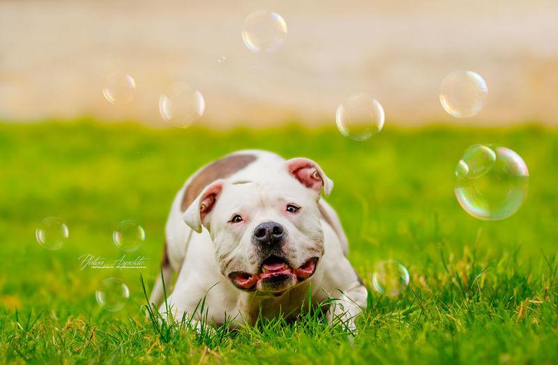 Pitbulls Pitbull Love Dog Pets Outdoors No People Animal Animal Body Part Bubbles Bubbles... Bubbles...Bubbles.... Bubble Dog Portrait Dog❤ Dogphoto Doglovers Dog Love