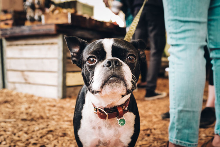 Canine Day Dog Domestic Domestic Animals Focus On Foreground Jeans Looking At Camera Mammal Midsection One Animal People Pet Owner Pets Portrait Real People Standing Vertebrate