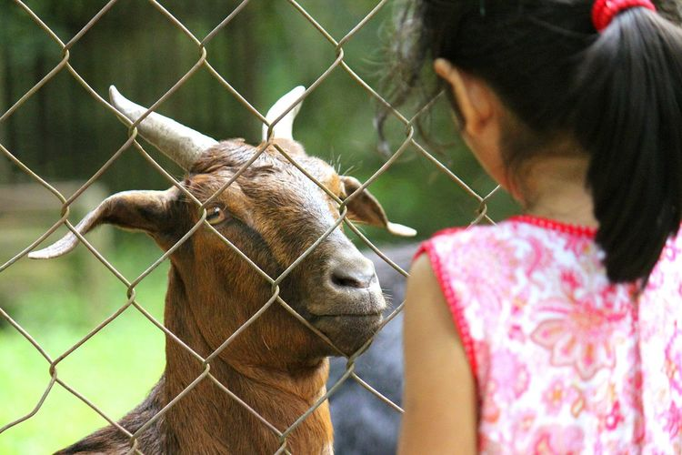 Zoo Zoo Animals  Goat Caged Animal Photography Domestic Animals Irony Outdoor Photography Faceoff Opposite Side Conversations Stare