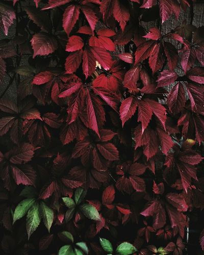 Red Leaf Autumn Growth No People Night Beauty In Nature Outdoors Nature Flower Close-up Freshness Nature
