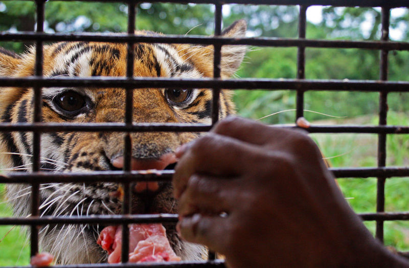 It's in the eye of the tiger 🐆 Tigers Dangerous Animals Dangerous Hand Feeding Taking Photos Philippines Beautiful Animals  Safari Eyeem Philippines Eye Of The Tiger 43 Golden Moments Animals Showcase July Eyeemphoto