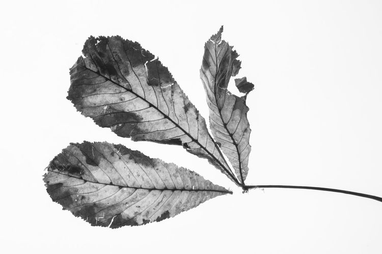 Strong macro effect here, inspired heavily by Karl Blossfeldt. With Autumn all around us, it makes sense to use natures natural cycle for the purpose of artistic photography. Leaf Veins In Leaves Nikon Blackandwhite Autumn Deterioration Decay Art Is Everywhere Light And Shadow Macro Lifeisbeautiful Colours Detail From My Point Of View Check This Out Photography Art
