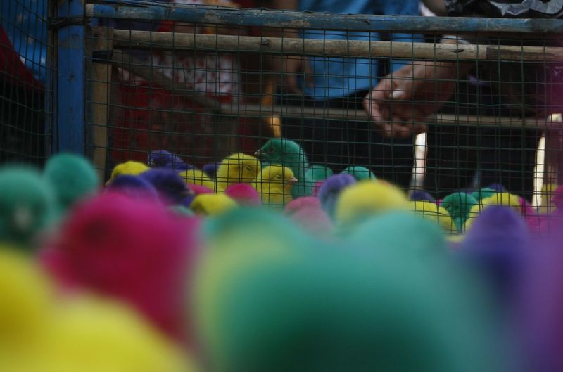 Colorful chickens in Indonesia. Selective Focus Multi Colored Day Sport Group Of People Incidental People Close-up People Outdoors Cage Real People Nature Crowd Togetherness Focus On Background Growth Celebration Competition