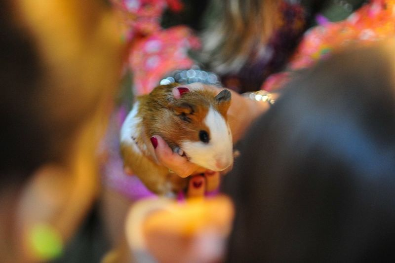 Guinea Pig Animals Mammal Nature Portrait Ambient Light True Colors Getting Inspired Eye4photography  EyeEm Best Shots People Together