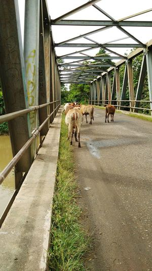 cow Cow Animals Cow Background Men Pets Bridge - Man Made Structure Agriculture Sky Architecture Built Structure Livestock Farm Animal Domesticated Animal Tag