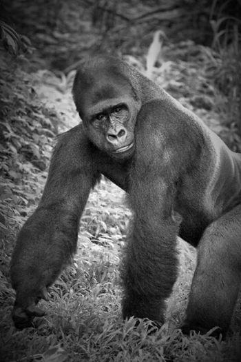 Monochrome Black And White Gorilla Animal Photography