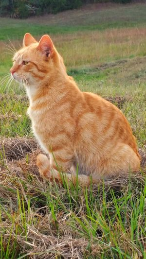 Cat Outdoors Field Grass Proud Feline Orange Tabby Cat Tom Cat Sitting Posing Hunting Animal Cats Of EyeEm My Cat Cat Lovers Grassy Pasture Pride Showing Expression Emotion Showing Emotion King Of Kings King Of My Castle