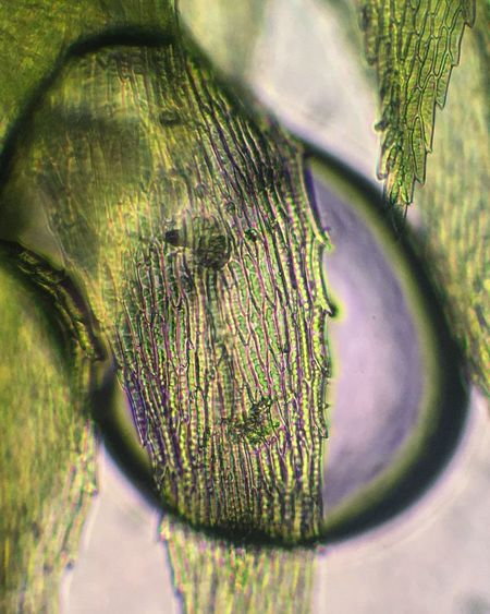Moss through a bubble under the microscope Green Color Close-up Selective Focus Nature Moss Microscope New On Eyeem Maximum Closeness