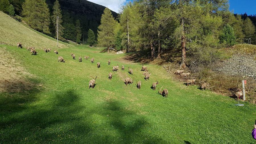 Swiss Mountains Grischun Graubünden Animals In The Wild Capricorns