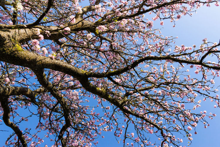 Tree Arboretum Westonbirt Arboretum Low Angle View Sky Branch Cherry Blossom Tree Canopy  Outdoors Springtime Day Pink Color No People Growth Blossom Beauty In Nature Cherry Tree Blue