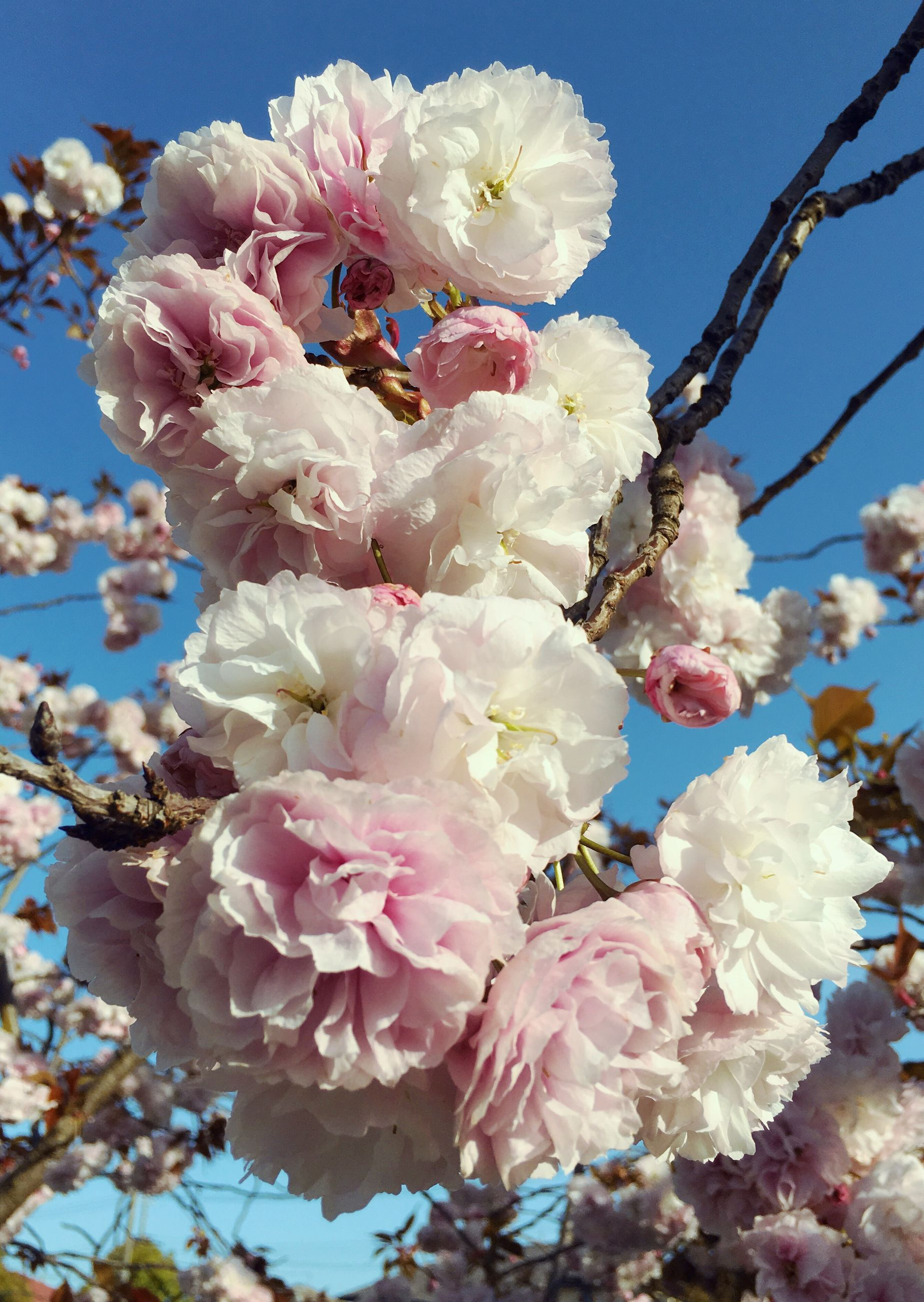 flower, freshness, fragility, branch, cherry blossom, tree, petal, cherry tree, growth, beauty in nature, blossom, nature, low angle view, pink color, blooming, springtime, close-up, fruit tree, flower head, white color