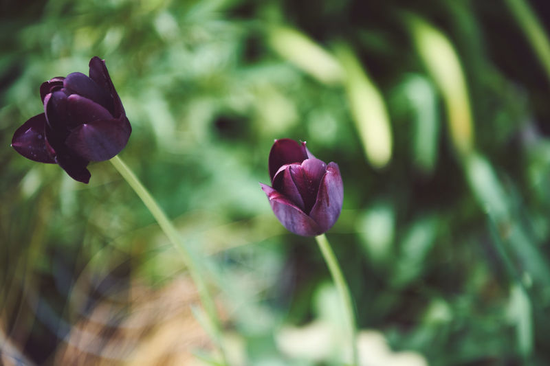 Flower Flowering Plant Plant Beauty In Nature Vulnerability  Fragility Freshness Growth Petal Close-up Nature Purple Inflorescence Flower Head No People Focus On Foreground Day Selective Focus Tulip Outdoors