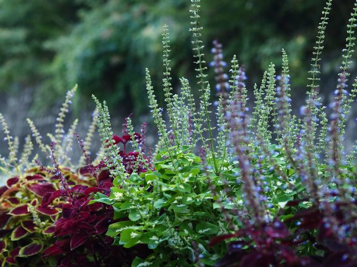 Nature Lover Nature Fragility Growth No People Beauty In Nature Outdoors Freshness Plant Green Color Close-up Leaf Flower Coleus