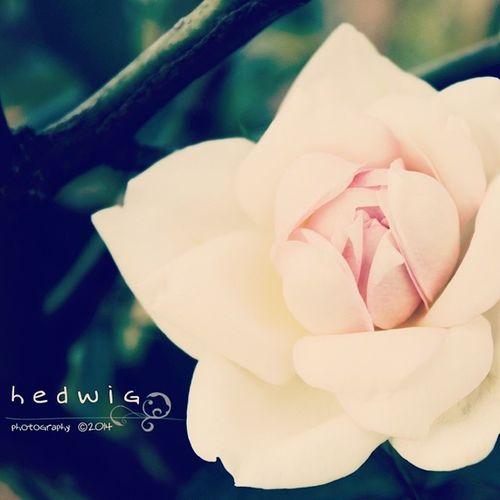 Roseflower Instapict Instagood Photography beautyofthenature