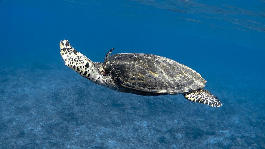 Hawksbill sea turtle at apo reef coral garden