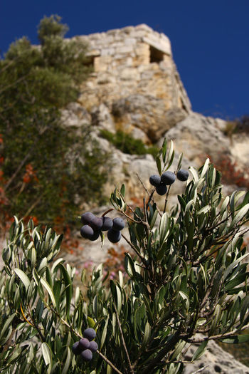 Yilankale (Snake Castle), Turkey Olives Olive Olive Tree Plant Growth Nature No People Day Beauty In Nature Close-up Sky Selective Focus Focus On Foreground Outdoors Snakecastle Snake Castle Yılankale Adana Old Historical Castle Architecture History Fruit