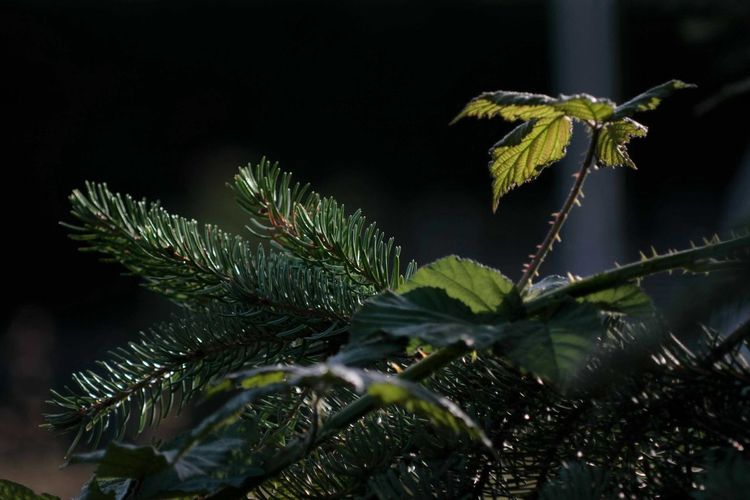 Sapin Pine Pine