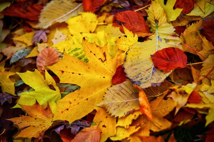 bunte Blättervielfalt , colorful leaves variety Colorful Leaves Autumn Season  Nature Modify Wood Bright Tree Texture Have A Nice Day♥ EyeEm Best Shots EyeEm Nature Lover Malephotographerofthemonth Eye4photography  EyeEm Gallery EyeEmBestPics EyeEm Selects The Week on EyeEm Beliebte Fotos Poppy Maple Maple Leaf Leaf Autumn Multi Colored Yellow Change Dry Close-up