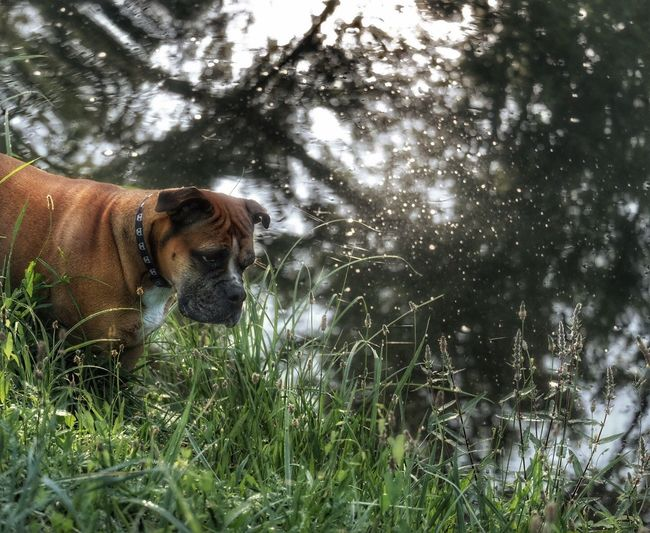 Looking For Adventures Continental Bulldog Bulldog Dog Dog Love Dogs Of EyeEm Dog Walking Nature On Your Doorstep Showcase August Taking Photos EyeEm Gallery