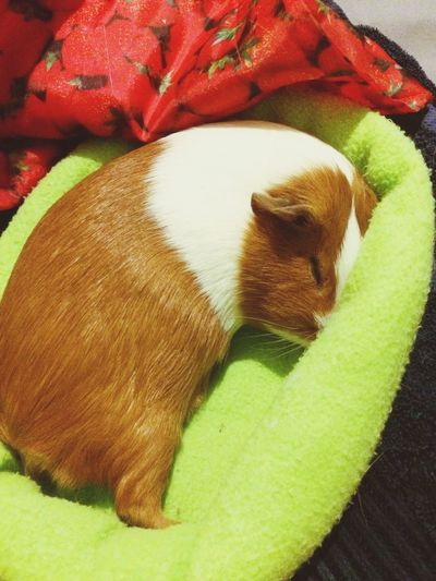 Relaxing Pet Photography  Guinea Pig Sleeping