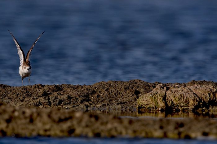 Born to fly!! Enjoying Life Enjoying Nature Wildlife & Nature Sandpiper Shorebirds FAR AWAY FROM HOME Savethebird Savetheearth Savetheplanet SaveAnimals