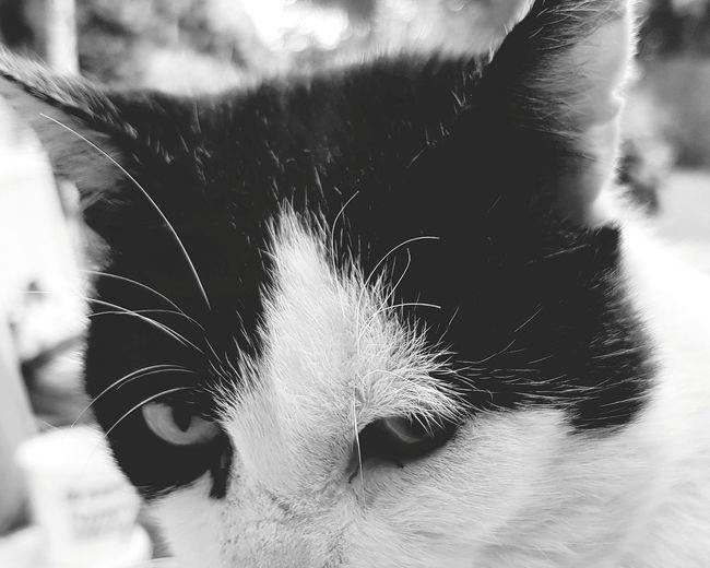 Cat Animal Photography Feline Blackandwhite Headshot Close-up Domestic Animals