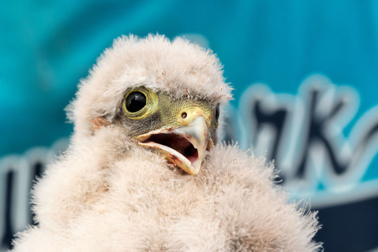 cute kestrel nestling being ringed Animal Animal Body Part Animal Head  Animal Themes Animal Wildlife Animals In The Wild Baby Bird Beak Bird Bird Of Prey Bird Ringing Close-up Focus On Foreground Kestrel Kestrel Baby Mouth Mouth Open Nestling No People One Animal Ringing Vertebrate Young Animal Young Bird